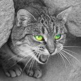 Agresivní kočka