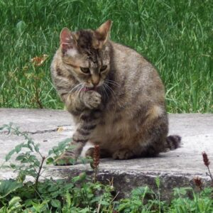 Březost kočky