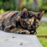 FIP u koček