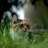 Mrouskání koček