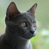 Ruská modrá kočka
