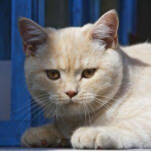 Britská modrá kočka