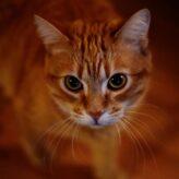 Třetí víčko u koček